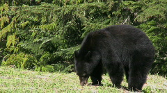 Black Bear Eating Grass Stock Footage