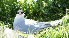 Nesting Actic tern Stock Footage