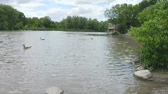 Canada Geese Swimming Across the Lake w/ Pan - stock footage