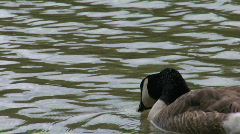 Canada Goose Swims Away From Camera Stock Footage