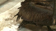 Stock Video Footage of Oiled Pelicans in rehabilitation center after BP Gulf of Mexico oil spill_02