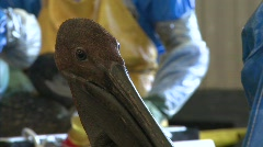 Oil spill pelicans bp gulf of mexico disaster Stock Footage