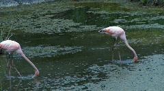 Stock Video Footage of flamingos