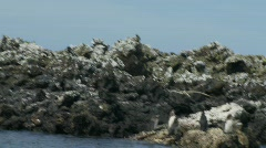 Galapagos Penguins c Stock Footage