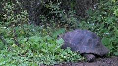 Galapagos Giant tortoise watching Stock Footage