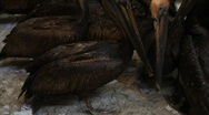 Stock Video Footage of Oiled Pelicans in rehabilitation center after BP Gulf of Mexico oil spill_05