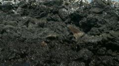 Galapagos marine iguana in bay Stock Footage