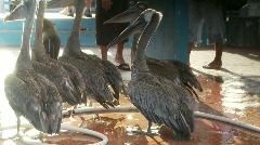 Pelicans sea lions market Stock Footage