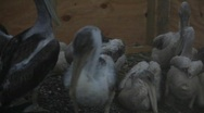 Stock Video Footage of Baby Pelicans cleaned from oil after BP Guld of Mexico oil spill_02
