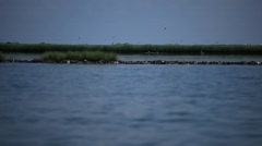 Brown Pelicans nesting on oiled Pelican Island after Gulf BP oil spill_01 - stock footage