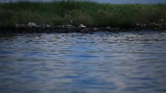 Brown Pelicans nesting on oiled Pelican Island after Gulf BP oil spill_03 - stock footage