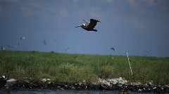 Brown Pelicans nesting on oiled Pelican Island after Gulf BP oil spill_07 - stock footage