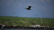 Stock Video Footage of Brown Pelicans nesting on oiled Pelican Island after Gulf BP oil spill_07