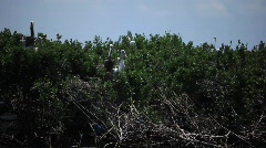 Brown Pelicans nesting on oiled Pelican Island after Gulf BP oil spill_09 Stock Footage