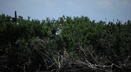 Stock Video Footage of Brown Pelicans nesting on oiled Pelican Island after Gulf BP oil spill_09