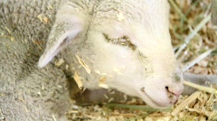 Sleeping Lamb Stock Footage