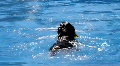 Dogs Dock Diving HD Footage