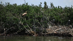 Brown Pelicans nesting on oiled Pelican Island after Gulf BP oil spill_13 - stock footage