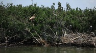 Stock Video Footage of Brown Pelicans nesting on oiled Pelican Island after Gulf BP oil spill_13