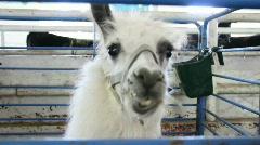 Llama 2 Stock Footage