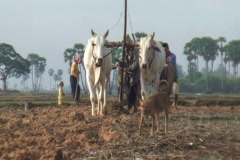 CAMBODIA-PLOUGHING FIELD 6 Stock Footage