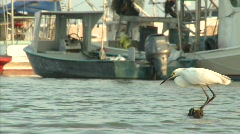 White Ibis fising in Venice Harbor, Louisiana_02 Stock Footage