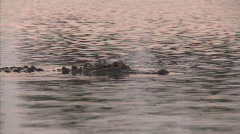 Alligator in danger of BP Gulf of Mexico oil spill_03 - stock footage