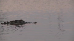 Alligator in danger of BP Gulf of Mexico oil spill_01 - stock footage