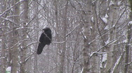 Stock Video Footage of Raven Snow