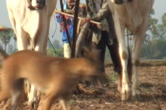 CAMBODIA-PLOUGHING FIELD 9 Stock Footage