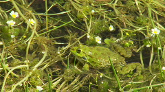 Frogs swimming and croaking in the lake swamp Stock Footage
