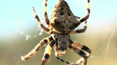 Waiting spider Stock Footage