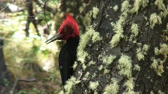 MF outdoor woodpecker002 Stock Footage