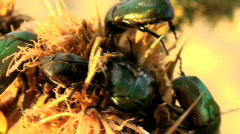 flower beetles devour a spin - stock footage
