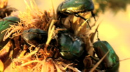 Stock Video Footage of flower beetles devour a spin