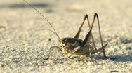 Cleans its legs a grasshopper Stock Footage