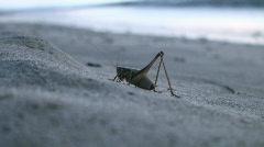 A seaside grasshopper Stock Footage