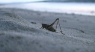 A seaside grasshopper Stock Footage
