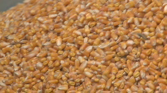 close up of harvested corn - stock footage