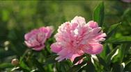 Beautiful Pink Peonies Stock Footage