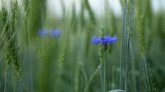 Cornflower And Wheat Under Rain - stock footage