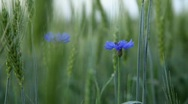 Cornflower And Wheat Under Rain Stock Footage