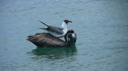 Stock Video Footage of seagull on a pelican