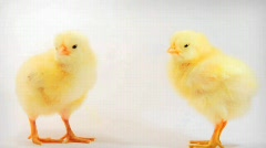 Baby chicks - stock footage