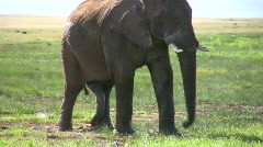 A bull elephant showing his penis Stock Footage