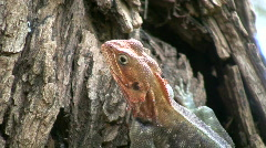 A lizard eating ants Stock Footage