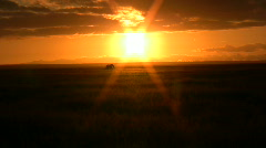 A long shot of sunset and elephant walking through - stock footage