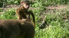Baby baboon riding on the tail of mother Stock Footage