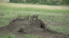 Banded mongoose on an anthill Stock Footage