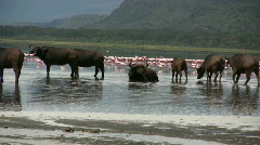 Buffalos inside lake with flamingos Stock Footage